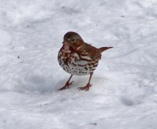 Fox Sparrow - Mendon Ponds - © Candace Giles - Dec 22, 2016